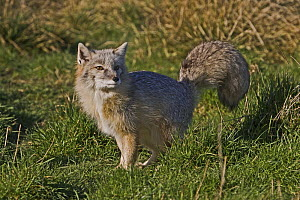 Male Corsac Fox (Vulpes corsac) in winter coat, Captive, found South East USSR and Afghanistan to Mongolia - Rod Williams