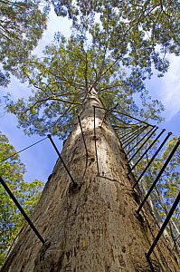 Ladder for climbing up a large Karri tree (Eucalyptus diversicolor) called The Gloucester Tree, a fire lookout tree, Gloucester National Park, Pemberton, Western Australia  -  Steven David Miller
