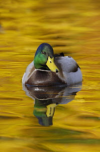 Mallard (Anas platyrhynchos) drake on lake with autumn reflections, Lancashire, UK, November - Graham Eaton