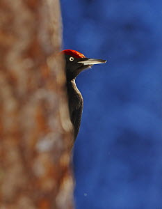 Black Woodpecker (Dryocopus martius) peering out from behind a tree. Posio, Finland, February  -  Markus Varesvuo