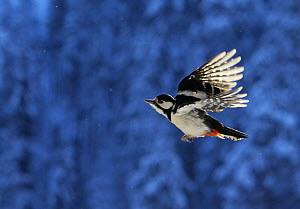 Great Spotted Woodpecker (Dendrocopos major) in flight. Posio, Finland, February - Markus Varesvuo