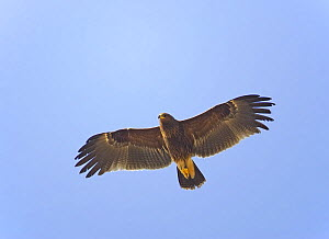 Greater Spotted Eagle (Aquila clanga) in flight. Sultanate of Oman, October - Markus Varesvuo