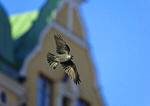 Jackdaw (Corvus monedula) in flight against urban backdrop. Helsinki, Finland, December - Markus Varesvuo