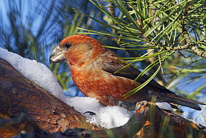 Crossbill Parrot (Loxia pytyopsittacus) on snowy branch, Porvoo, Finland, March - Markus Varesvuo
