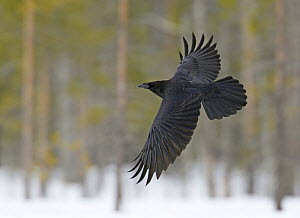 Common raven (Corvus corax) in flight, Kuhmo, Finland, March  -  Markus Varesvuo