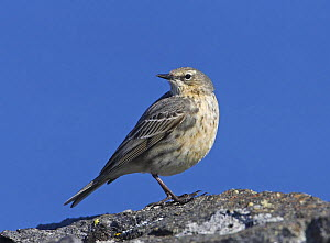 Rock pipit (Anthus petrosus) on rock against blue sky, Porvoo, Finland, May  -  Markus Varesvuo