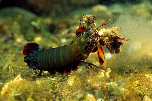 Peacock mantis shrimp (Odontodactylus scyllarus) with claws camouflaged with debris, Lembeh Straits, Sulawesi, Indonesia  -  Solvin Zankl