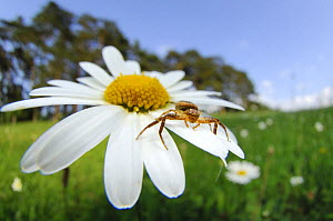 Crab spider (Xysticus cristatus) on Ox-eye daisy flower, Germany  -  Solvin Zankl
