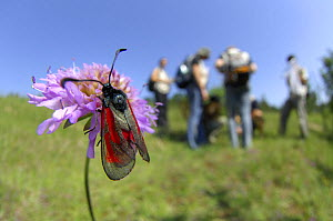 Slender Burnet moth (Zygaena loti) on Field scabious flower with group of entomologists in the background, Crawinkel, Germany  -  Solvin Zankl