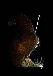 Murrays abyssal anglerfish (Melanocetus murrayi) Atlantic ocean. A deep-sea fish with bioluminescent lure used to attract prey. The bioluminescence is produced by symbiotic bacteria; these bacteria ar...  -  Solvin Zankl