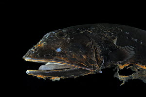 Whalefish {Cetomimus sp} an unusual specimen that may be an undescribed species, deepsea, Atlantic ocean  -  Solvin Zankl
