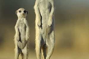 Meerkat (Suricata suricatta) adult male and juvenile standing on guard, South Africa - Solvin Zankl