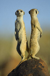 Meerkat (Suricata suricatta) standing on guard, back to back, South Africa - Solvin Zankl