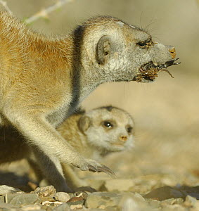Meerkat (Suricata suricatta) juvenile watching adult catch a scorpion, South Africa - Solvin Zankl