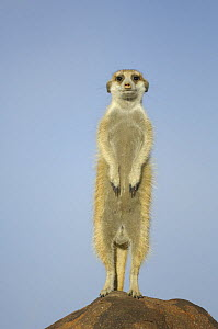 Meerkat (Suricata suricatta) standing on guard on rock, South Africa - Solvin Zankl