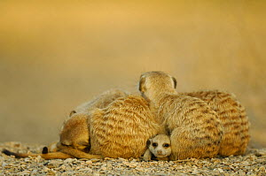 Meerkat (Suricata suricatta) juvenile peering out from under resting group of adults, South Africa - Solvin Zankl