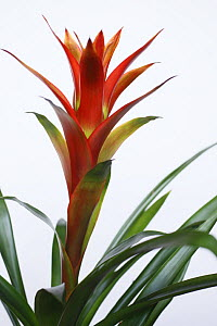 Bromeliad flower (Guzmania sp) flowering indoor house plant - Kerstin Hinze