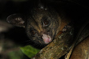 Silver-grey Brushtail possum (Trichosurus vulpecula), Lamington National Park, Queensland, Australia - Jouan & Rius