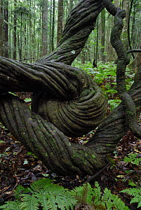 Twisted Trunk of large liana in Bunya Mountains National Park, Queensland, Australia  -  Jouan & Rius