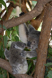 Koala (Phascolarctos cinereus) mother with young, Queensland, Australia  -  Jouan & Rius