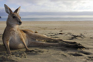 Eastern grey kangaroo (Macropus giganteus) resting on beach, Queensland, Australia  -  Jouan & Rius
