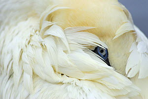 Gannet (Morus bassanus) portrait, Shetland Islands, Scotland, UK  -  Jouan Rius