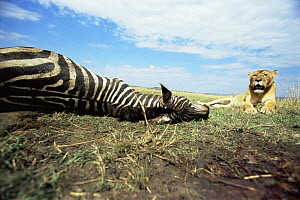 African lion {Panthera leo} lioness resting beside Zebra carcass, East Africa  -  Anup Shah