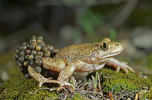Midwife toad {Alytes obstetricans} male carrying eggs, Spain, June  -  Inaki Relanzon