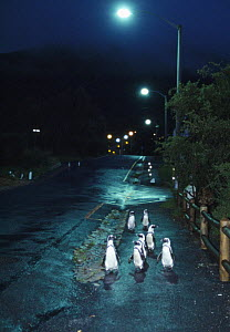 Black footed / Jackass penguins {Spheniscus demersus} walking along road at night with street lights, Boulders, South Africa - Inaki Relanzon