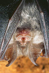 Lesser horseshoe bat {Rhinolophus hipposideros} roosting in cave, France - Inaki Relanzon