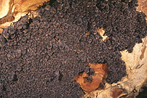 Colony of Schreiber's long fingered bat {Miniopterus schreibersii} roosting in cave, France  -  Inaki Relanzon