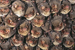 Close up of colony of Schreiber's long fingered bat {Miniopterus schreibersii} roosting in cave, France  -  Inaki Relanzon