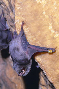 Schreiber's long fingered bat {Miniopterus schreibersii} roosting in cave, note ring, France  -  Inaki Relanzon