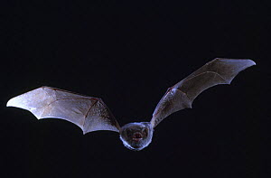 Schreiber's long fingered bat {Miniopterus schreibersii} flying from cave, France  -  Inaki Relanzon