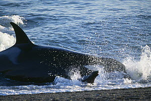 Killer whale {Orcinus orca} hunting sealions on coast of Patagonia, Argentina  -  Inaki Relanzon
