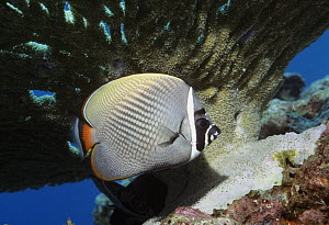 Redtail / Collared butterflyfish (Chaetodon collare). Andaman Sea, Thailand.  -  Georgette Douwma