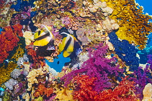 Red Sea bannerfish (Heniochus intermedius), pair at rest on reef with firecoral and soft corals. Red Sea, Egypt.  -  Georgette Douwma