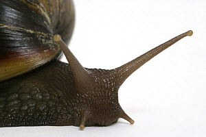 Close up of antennae of Giant African Snail {Achatina marginata}  -  Barry Bland