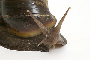 Close up of head and antennae of Giant African Snail {Achatina marginata}  -  Barry Bland