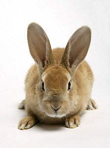 Rex domestic rabbit. - Barry Bland