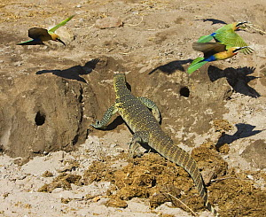 White fronted Bee-eaters (Merops bullockoides) mobbing monitor lizard that is by their nest holes. Chobe, Botswana, May 2008. - Sharon Heald