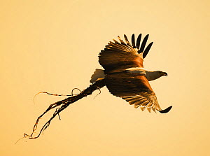 African Fish Eagle (Haliaeetus vocifer) carrying nesting material, Chobe National Park, Botswana May 2008 - Tony Heald