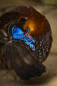 Temminck�s tragopan (Tragopan temminckii) male during courtship, displying and displacement preening, Tibet, China - Dr. Axel Gebauer