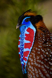Temminck�s tragopan (Tragopan temminckii) male during courtship display, showing red-blue lappets. Tibet, China - Dr. Axel Gebauer