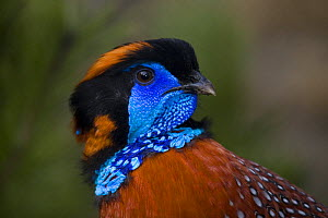Temminck�s tragopan (Tragopan temminckii) male, Tibet, China - Dr. Axel Gebauer