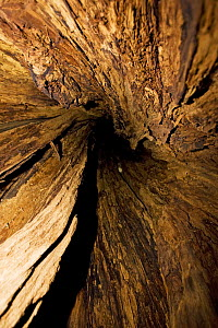 Looking up inside the trunk of a Western Red Cedar {Thuja plicata} These trees die from the inside out leaving huge hollows big enough for a person to walk in. The Big Tree Trail, Meares Island, Clayo...  -  Matthew Maran