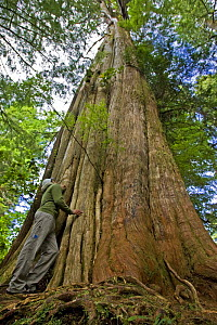 Person standing beside the trunk of a Western Red Cedar {Thuja plicata} The Big Tree Trail, Meares Island, Clayoquot Sound, Vancouver Island, BC, Canada  -  Matthew Maran