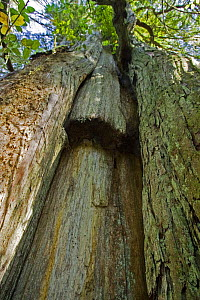 Looking up the trunk of a Western Red Cedar {Thuja plicata} that has had its bark stripped by first Nation Americans for many uses such as mats, rope and clothing, The Big Tree Trail, Meares Island, C...  -  Matthew Maran