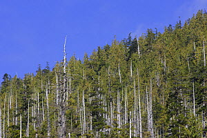 Western Red Cedar {Thuja plicata} Bare trunks of trees can stand dead for hundreds of years as they have a high resistance to rot. The Big Tree Trail, Meares Island, Clayoquot Sound, Vancouver Island,...  -  Matthew Maran
