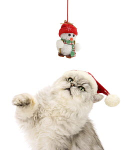 Silver tabby chinchilla Persian male cat, Cosmos, wearing a Father Christmas hat and trying to swipe a hanging snowman toy. - Mark Taylor